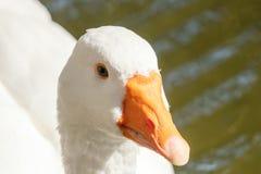 Close up Portrait of a White goose. Wildlife stock photos