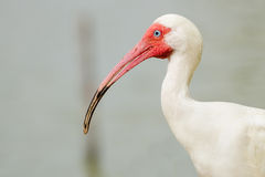 Close up portrait of white ibis Royalty Free Stock Photo