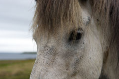 Close up portrait of a white Icelandic horse, Iceland Royalty Free Stock Images