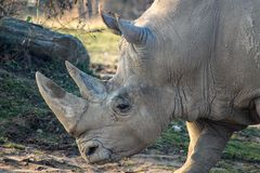 Close up portrait of a white rhino royalty free stock photos