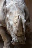 Close up portrait of white rhinoceros square-lipped rhinoceros Royalty Free Stock Image
