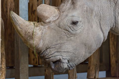 Close up portrait of white rhinoceros square-lipped rhinoceros Royalty Free Stock Images