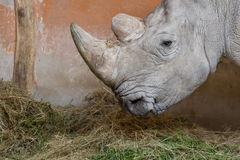 Close up portrait of white rhinoceros square-lipped rhinoceros Royalty Free Stock Photography