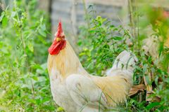 Portrait white rooster chickens on lawn in farm Stock Photo