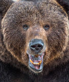 The close up portrait of wild adult male brown bear Stock Photo