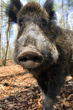 Close up portrait wild boar royalty free stock photography