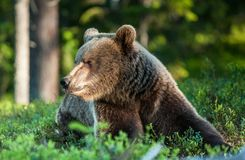 Close up portrait of the Wild Brown bear Royalty Free Stock Image