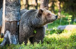 Close up portrait of the Wild Brown bear. Close up portrait of Adult Wild Brown bear (Ursus Arctos Arctos) in the summer forest. Natural green Background Royalty Free Stock Photography