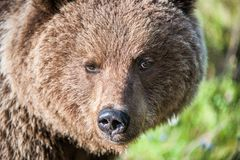 Close up portrait of the Wild Brown bear. (Ursus Arctos Arctos) in the summer forest. Natural green Background Stock Photo
