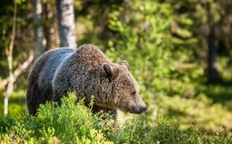 Close up portrait of the Wild Brown bear Stock Photos
