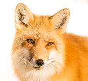 Close Up Portrait of a Wild Fox in Winter. Portrait of a wild fox in Japan During Winter Stock Photos