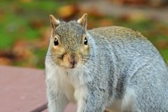 Grey squirrel on a picnic table stock image
