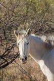 Wild Horse in the Arizona Desert Stock Photo
