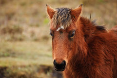 Close up portrait of wild pony in forest Royalty Free Stock Photo