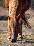 Assateague Wild Pony Grazing, Close Up, Assateague Island National Seashore royalty free stock photos