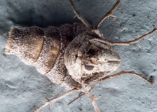 Close up Portrait of Wingless Female Fall Cankerworm Moth on Blu Stock Photos