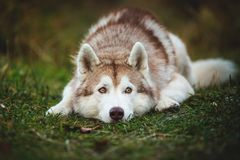 Close-up Portrait of wistful siberian Husky dog lying is on the ground in the fall forest at sunset. Close-up Portrait of adorable sad and meditative siberian royalty free stock photos