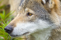Close-up portrait of a wolf head Royalty Free Stock Images