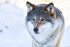Close-up portrait of a wolf in the winter Stock Photos