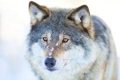 Close-up portrait of a wolfs head in the winter Royalty Free Stock Photos
