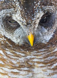 Close up portrait of a Wood Owl Royalty Free Stock Photo