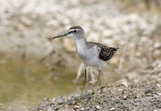 Close up portrait of a wood sandpiper Tringa glareola. Stand on the shore. Front view Stock Image