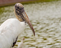 Close up portrait of wood stork, mycteria americana Stock Photo