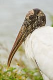 Close up portrait of wood stork, mycteria americana Royalty Free Stock Photo