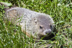 Close up portrait of a woodchuck Royalty Free Stock Image