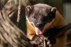 Close-up portrait of yellow-throated marten with open mouth stock image