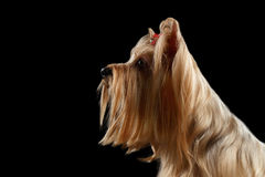 Close up Portrait of Yorkshire Terrier Dog, Profile view, isolated Royalty Free Stock Photo