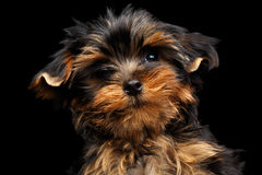 Close-up Portrait Yorkshire Terrier Puppy on Black Royalty Free Stock Photos