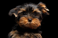 Close-up Portrait Yorkshire Terrier Puppy on Black Royalty Free Stock Images