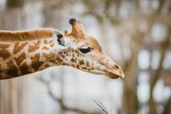 Close-up, portrait of a young African African giraffe newly spotted in cloudy weather, cold season Stock Photos