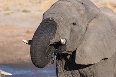 Close up and portrait of a young African Elephant drinking from waterhole. Wildlife Safari in the Chobe National Park, travel dest Royalty Free Stock Photos