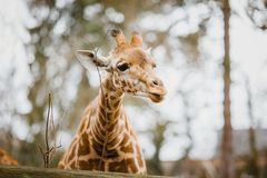 Close-up, portrait of a young African African giraffe newly spotted in cloudy weather, cold season.  Stock Image