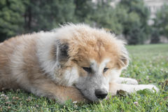 Close up portrait of young akita inu dog. Royalty Free Stock Photo