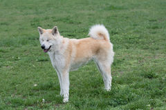 Close-up portrait of young of akita inu dog. Close up portrait of young akita inu dog.Selective focus Royalty Free Stock Photos