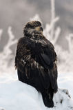 Close up Portrait of a young Bald Eagle Royalty Free Stock Photo