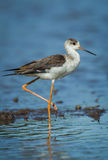 Close up portrait of young Black-winged Stilt Stock Photo