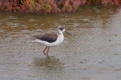 Close up portrait of young Black-winged Stilt Stock Images