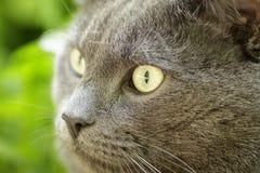 Close up portrait of young british cat Stock Photos