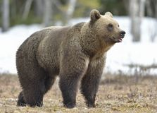 Close-up Portrait  of young Brown Bear (Ursus arctos) on a swamp in the spring forest Stock Photos