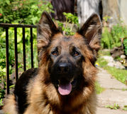 CLose-up portrait of Young Fluffy Dog Breed German Shepherd lying in the garden outdoor. Royalty Free Stock Photos