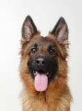 Close up Portrait of a Young German Shepherd Dog Looking to the Camera. Two Years Old Pet. Royalty Free Stock Image
