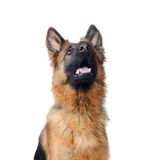 Close up Portrait of a Young German Shepherd Dog . Two Years Old Pet. Royalty Free Stock Photography