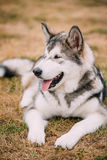 Close up portrait of young Happy Alaskan Malamute Royalty Free Stock Image