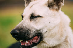 Close up portrait of young Happy East European Shepherd dog Stock Photography