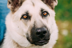 Close up portrait of young Happy East European Shepherd dog Stock Images