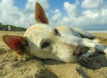 Portrait of young happy and sweet white dog playing alone in the beach lying relaxed on sand under a blue sky. Close up portrait of young happy and sweet white royalty free stock photos
